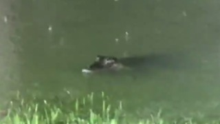 Texas Woman Films Alligators Swimming in Her Flooded Backyard - Video