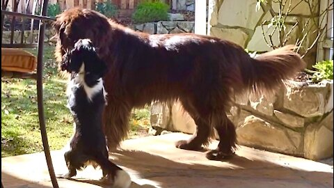 Cavalier pup uses size & speed to outwit Newfoundland