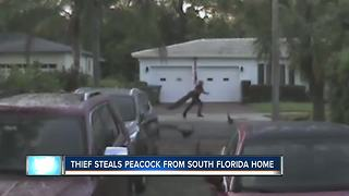 Thief steals peacock from S. Florida home - Video