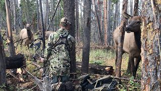 Oblivious Elk Stand Just Feet Away From Well-Camouflaged Man - Video