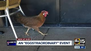 Stray chicken lays egg outside of Phoenix U.S. Egg location - Video
