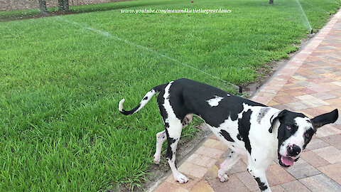 Funny Great Dane Puppy Can't Figure Out Sprinklers