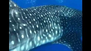 Lucky Fisherman Has Rare Encounter With Whale Shark