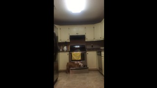 Bulldog can find hidden treats anywhere in the kitchen - Video