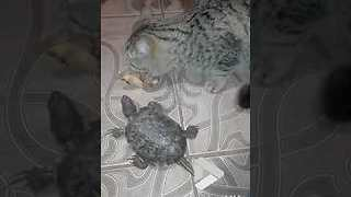 Turtle and Cat fight over bone - Video