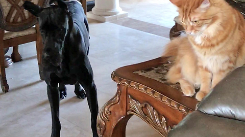 Bouncing Great Dane and Puppy Play with Cats