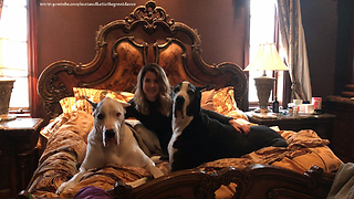 Happy Great Danes Get Ready For Bed With Auntie  - Video
