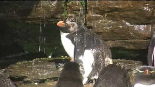 It's bath time for these adorable penguins!