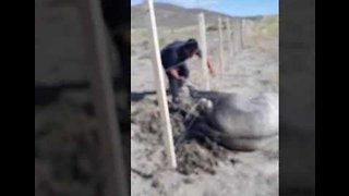 Tangled Wild Horse Freed From Wire on Patagonian Roadside