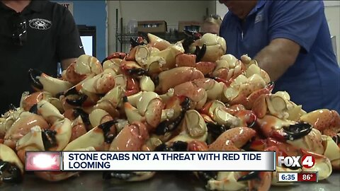 Stone crabs not a threat with red tide looming