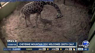 Giraffe at Cheyenne Mountain Zoo gives birth to zoo's 20th giraffe calf