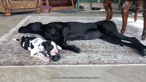Patient Great Dane lets puppy chew on her toes