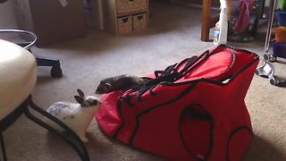 Ferret and bunny rabbit share unusual friendship - Video