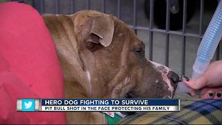 Dog shot in face during police chase fighting to survive - Video