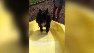 Dog Runs Up A Slide And Slides Back Down