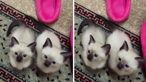 These Siamese kittens see their owner as a toy