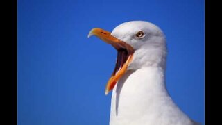 Outlaw seagull steals food