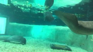 Laguna the manatee the newest addition to South Florida Museum - Digital Short - Video