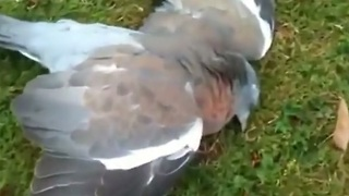"""Drunk"" pigeon indulges on fermented fruit"