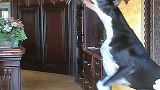 Funny Great Dane bounces for Cat toy while Cat watches - Video