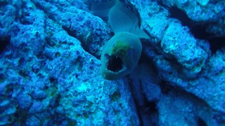 Diver Encounters GIANT Moray  - Video