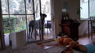 Clever Great Dane Knows What To Do When It's Bath Time - Video