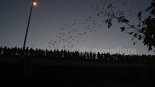 Thousands of bats come out from under Austin bridge to feed - Video