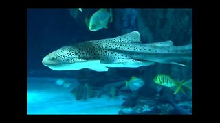 Zorro The Zebra Shark Moves House - Video