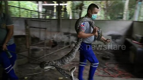 Giant python caught after swallowing Thai farmer chickens