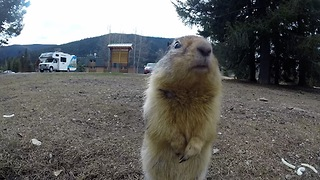 Playful ground squirrels lovingly fed by locals