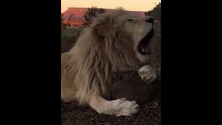 Majestic lion lets out a yawn instead of a roar - Video