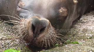 Sea lion pulls unusual faces while sleeping - Video