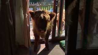Impatient Highland Calf Goes in Search of Her Snack