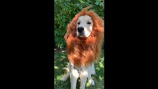 Majestic pup pulls off epic 'Lion King' impression