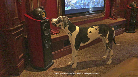 Great Dane Puppy Can't Figure Out Speaker Voice