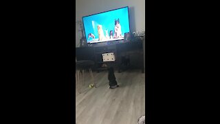 This pup literally can't stop chasing the dogs on TV