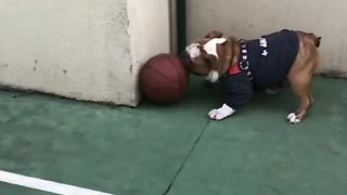 English Bulldog plays soccer with a basketball