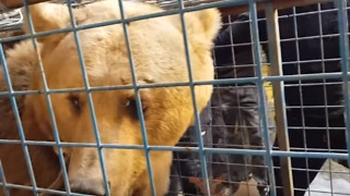 Lost Bear Tranquilized and Captured in Basra City - Video
