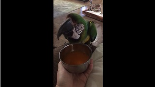 Macaw verbally expresses love for favorite juice - Video