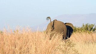 AFTER INTENSE STANDOFF BETWEEN TWO ELEPHANTS, ONE STUMBLES AND FALLS IN HILARIOUS FASHION