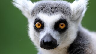 Eagle-Eyed 5-Year-Old Helps Cops Nab Ring-Tailed Lemur Thief