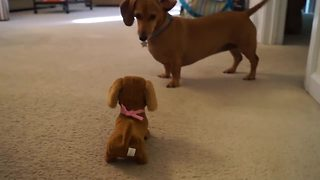 Dachshund dog meets battery operated look-alike - Video