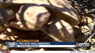 Mojave Max emerges from burrow!