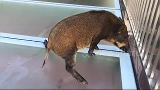 Wild boar gets scared after straying onto slippery glass walkway - Video