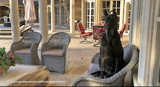 Regal Great Danes Relax Like The Peoples Do By The Pool