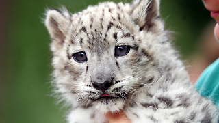 Adorable Baby Snow Leopards Playing - Video