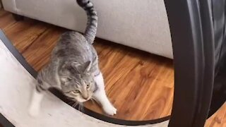 Cat learns how to use exercise wheel, and other cat tries to help