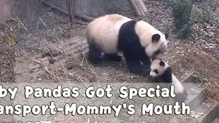 Hilarious Moments of Mama Pandas Dragging Their Babies Home