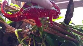 Thirsty Chameleon Licks Tasty Camera - Video