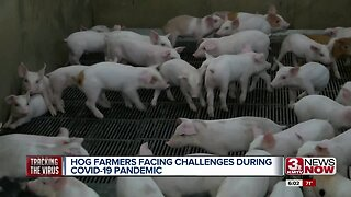Hog Farmers Facing Challenges During Pandemic